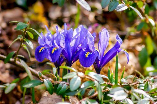 Voorjaarsbloeiers Iris