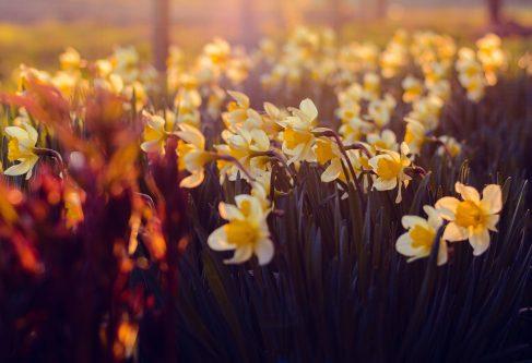 Voorjaarsbloem narcis