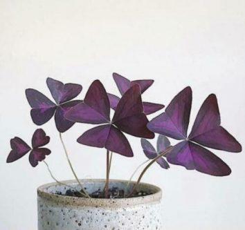 Planten die hip zijn in , oxalis triangularis2021